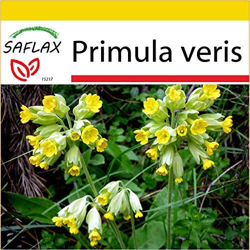 SAFLAX - Anzucht Set - Heilpflanzen - Schlüsselblume - 100 Samen - Mit Mini-Gewächshaus, Anzuchtsubstrat und 2 Töpfen - Primula veris