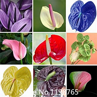 Promotion anthurium seeds, free shipping cheap anthurium seeds, Bonsai balcony flower, anthurium potted flower seeds - 100 pcs/b