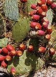 Tropica - Feigenkaktus (Opuntia) Mischung, Winterhart, 20 Samen