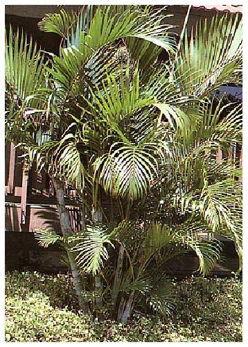 LICUALA SPINOSA Palmier /à H/élices 25 graines