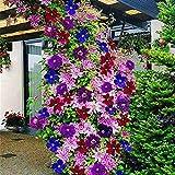 pittospwer 100pcs clematide rampicante semi di vite fiore pianta home office ornamento decorazione