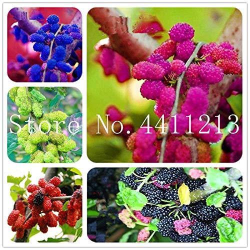 Bloom Green Co. Gran promocin !!!20 Piezas Negro Morera Bonsai Morus Nigra Ãrbol Jardn Arbusto Jardn casero de DIY: Mezclado