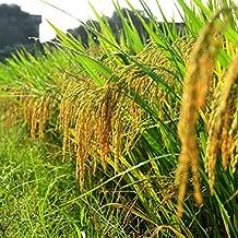 Oryza sativa 50 Samen Schwarzer Reis für die Zubereitung von süssen Speisen
