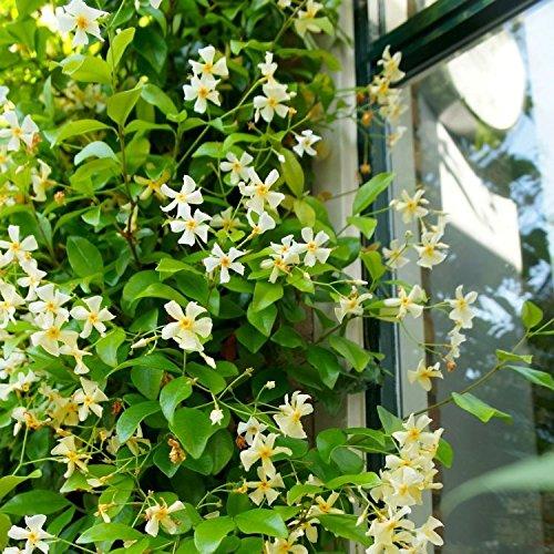Sternjasmin 'Star of Toscane' :Gelb | Toskanischer Sternjasmin - 1,5 Liter Topf - Gelb - Duftend, Immergrün & Winterhart | ClematisOnline Kletterpflanzen