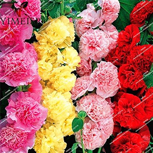 fleurs doubles trémière Graines-Alcea rosea rose, rose, rouge, jaune graines de fleurs vivaces bonsaïs pour 50seeds de plantes de jardin Accueil / sac 105