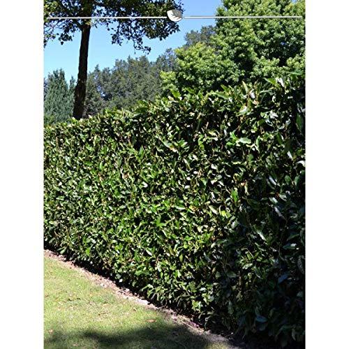 Gardline Kirschlorbeer Lorbeerkirsche Prunus Herbergii 180-200 cm EXTRA, 18x Heckenpflanze, inkl Versand