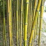 lamta1k 20Pcs Raro Phyllostachys Aureosulcata Bamboo Seeds Jardín al Aire Libre Verde Calidad de la Planta y Alta tasa de Supervivencia s - Phyllostachys Aureosulcata Seeds