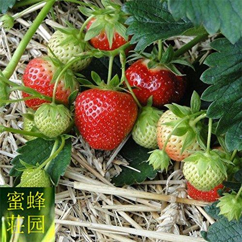 100 graines Strawberry Four Seasons Plantons Fleurs Plantes en pot Balcon intérieur Crèmes de fruits Graines Légumes