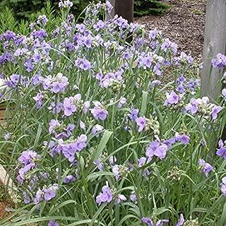 20 Seeds of Tradescantia Mix - Spiderwort. Blue to Purple Triangular Flowers on Grassy Stems - Wildflower Favorite!
