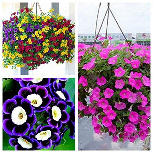 Date limite de 100 graines/Sac Petunia Graines Multicolor Petunia hybrida Jardin Accueil Bonsai Fleur matin Glory Red Seeds