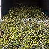 """OILALÀ Olio Extravergine di Oliva Italiano, tanica 5 litri, Selezione Olive Pugliesi Locali, """"Selezione Blend"""" olive di diverse varietà, Olio Evo 100% italiano, aroma fruttato, Vero Olio di Oliva #3"""