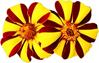 Court Jester Marigold 100 Seeds - Tagetes Patula Nana Single, French Marigold Flower Beauty, Unique Yellow-Burgundy Color Mix Flower Seeds for Planting Outdoors