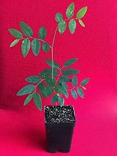 Katuk Variegated Sauropus Androgynus Star Gooseberry Sweet Leaf Bush Plant 4-10