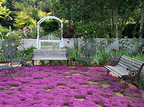 ADOLENB Seeds 500pcs Upholstery Thyme Seeds Evergreen Scented Flower Carpet Ground Cover Creeping Thyme Perennial Flowers Perennial Border Flower Seeds Hardy Perennial