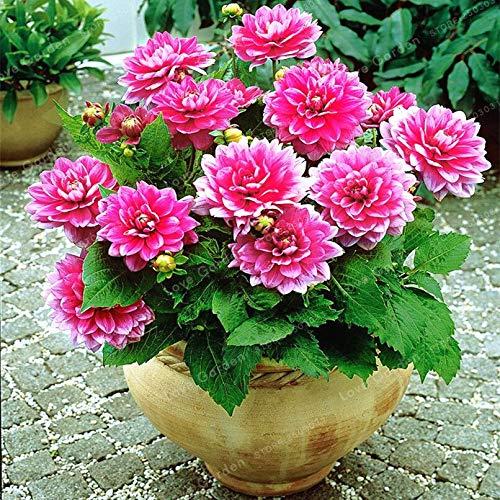 Sump Fresh 50 piezas de semillas de flores de dalia para plantar rosa
