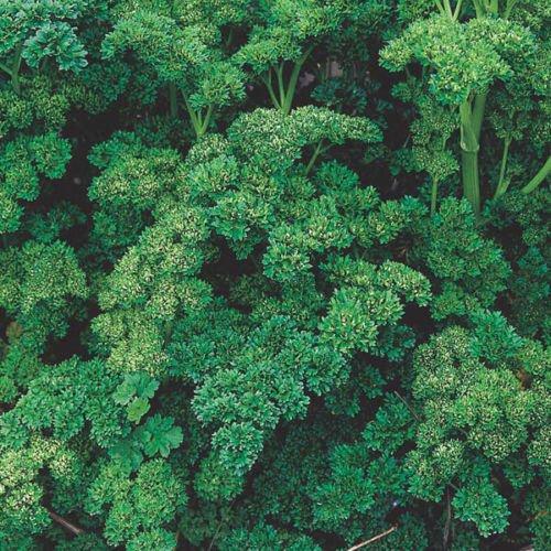 Semences Florales: Triple torsadé persil Graines de semences fraîches