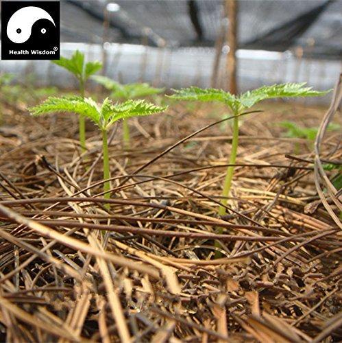 100% réel Wenshan chinois Sanqi Sementes Panax Notoginseng Graines Yunnan Tianqi Bonsai Pseudo Ginseng Plantes Herbes