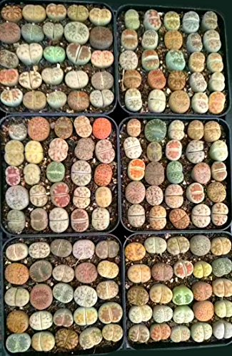 Micro Landscape Design Lithops 25 Seeds with High Germination Freshly Harvest with Mini Live Lithops and Germination Kit (Lithops Seed Mix + Mini Plant + Kit)