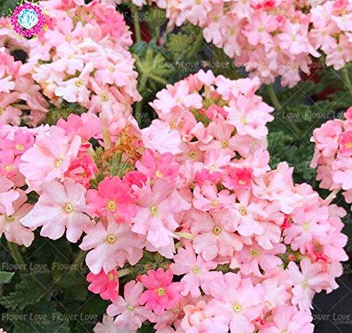 Graines de Purple rares 50pcs Verveine, Verveine HORTENSIS, Verveine Hybrida Rare Bonsai Graines de fleurs Plantes d'intérieur Balcon pour jardin 4