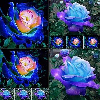 100 Pcs Blue Pink Rose Flower Seeds Plant Fresh Garden Seeds Home Garden Yard Balcony Bonsai Decor Seeds Gardeners Choice!