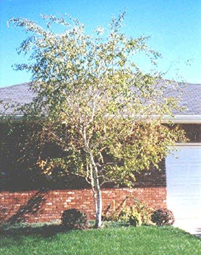 50 Whitespire Birke Samen, Betula Platyphylla, Japonica