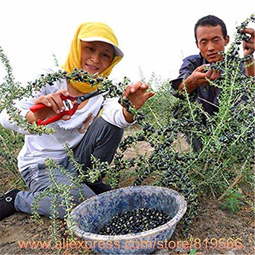 Graines Pin, Bonsai Pinus thunbergii Seeds, vous apprendre comment faire pousser, 20 particules / sac