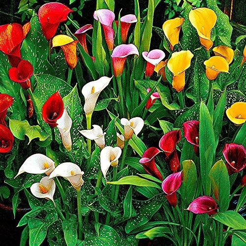 3x Zantedeschia | Callalilie | Sommerblüher Blumenzwiebeln | 14 cm