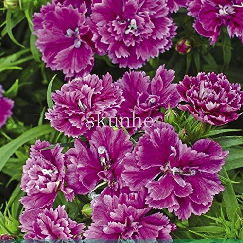 Generic Fresh 100 Stk. Doppelblütige Dianthusblumensamen zum Pflanzen von Veilchen