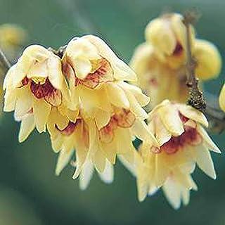 AGROBITS Cmonanthus praecox 5yellow arbusto con flores de invierno fragante