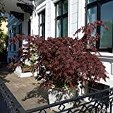Qulista Samenhaus - Rarität Roter Fächerahorn 'Atropurpureum' | Ziersträucher Blutahorn Baum Saatgut Blumensamen winterhart mehrjährig