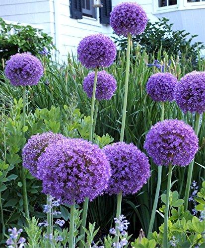 3 x Allium 'Globemaster' 1 Liter (Zierlauch) SELTENHEIT ab 9,19 € pro Stück