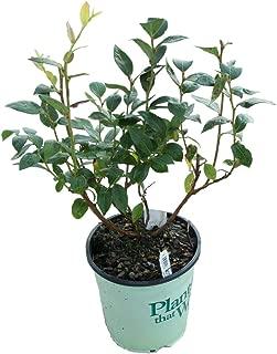 Plants That Work - in The Kitchen Duke Highbush Blueberry - Vaccinium Duke - 19cm