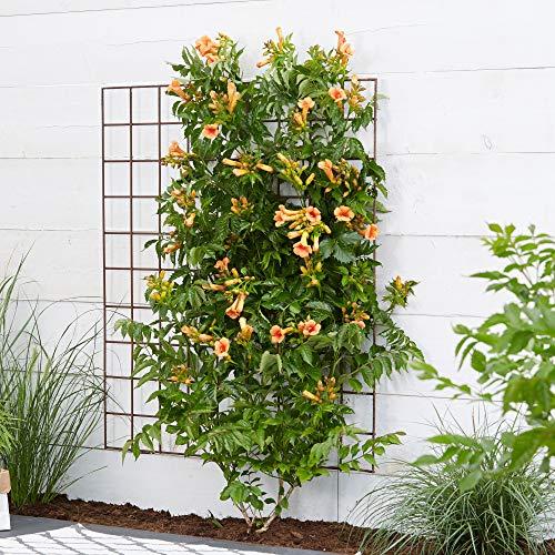 2x Campsis xTagliabuana INDIAN SUMMER | Bignone orange | Plante grimpante d'extérieur | Hauteur 65-75cm | Pot Ø 14cm