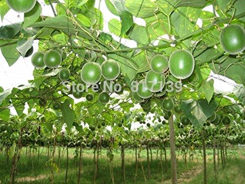 Semences de la fruits 20pcs 200 livres géante énorme Pasteque semences, Horticulture domestique, .