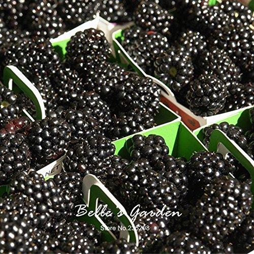 100pcs Blackberry Graines fruit délicieux Black Berry Bonsai Fruit Graines Plante en pot bricolage jardin Livraison gratuite # V25