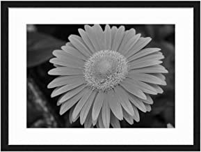 Sunshine flowers Victoria BC - Canada - Art Print Wall Solid Wood Framed Picture (Black & White 20x14 inches)