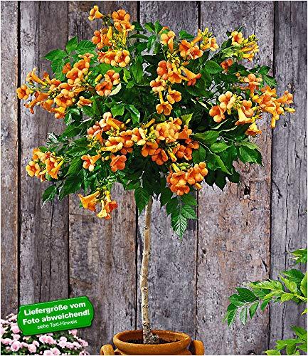BALDUR-Garten Campsis-Stämmchen 'Indian Summer®' Trompetenblume, 1 Pflanze Zierstämmchen winterhart