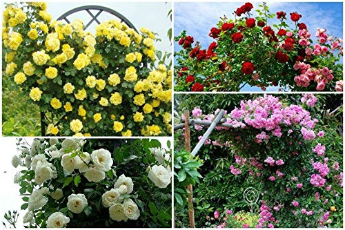 Portal Cool # 6: 100Pcs vielblütig Kletterrose Samen Balkon Zaun Blühender Garten Decor