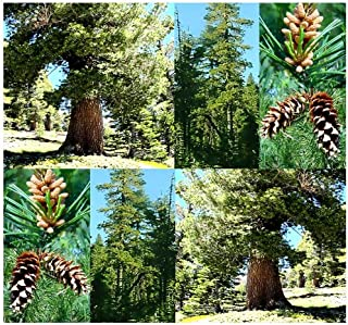 Western White Pine - Pinus monticola Tree Seeds - aka Idaho Pine - By MySeeds.Co (Western White x 5 Packs)
