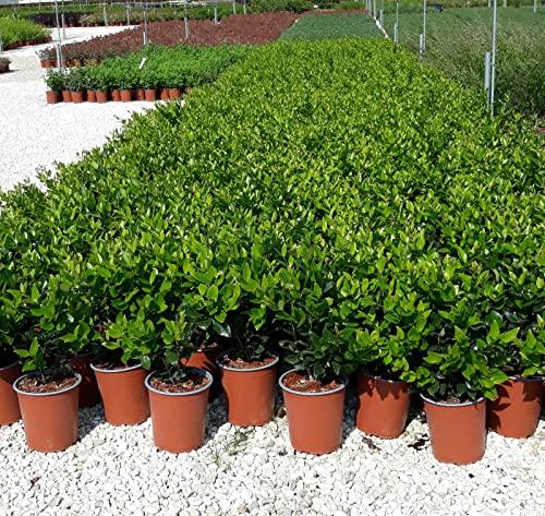 Ligustrum Japonicum Texanum (Ligustro Texano) vaso 19 cm