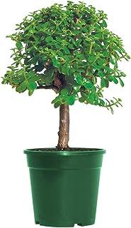 AMERICAN PLANT EXCHANGE Dwarf Jade Tree Miniature Succulent Pre-Bonsai Live Plant, 6