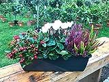 Herbst Balkonkasten 40cm breit, Winterheide, Calluna vulgaris Trio Milka (Besenheide), Alpenveilchen & Scheinbeere
