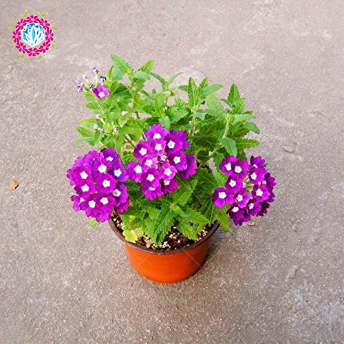 graines 100pcs Verveine seeds.Verbena HORTENSIS, graines de bonsaï rares fleurs Hanging plantes balcon intérieur fleurs pour le jardin de la maison
