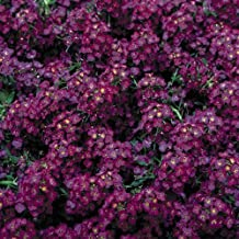 purple alyssum perennial