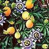 イエローパッションフルーツの苗【果樹苗 10.5cmポット 実生苗/2個セット】熟すときれいな黄色になるみずみずしく美味しいパッショフルーツ品種!ポット苗なので年中植付け可能!ある程度木が大きくならないと開花しないので、植付け後2年目ぐらいから収穫できます。栽培条件が良ければ、春の植え付けでその年に少量収穫できる場合もあります。★特徴 果皮は鮮やかな黄色で果重120~140g、果径6~8cmです。野球ボールほどの大きさで揃いが良いです。パッションフルーツ特有の甘酸っぱい香りが強く生食はもちろん、お菓子や飲み物の香りづけにも用いられます。新鮮果樹苗自社農場より直送!! #5