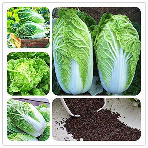AGROBITS 100 chinois Chou vert Bonsai légumes Bonsai pour la santé Bok Choy Bonsai Nutritif vert ica Pekinensis Plantes
