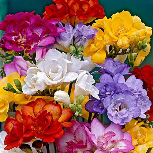 Freesia Mixed Colors Bulbs for Spring Planting - 10 Bulb Mix Pack - Large Healthy Bulbs Ship from...