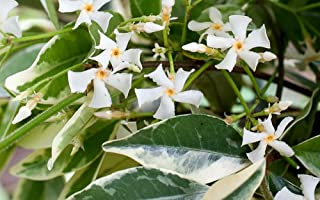 Variegated Confederate Star Jasmine Plant - 4