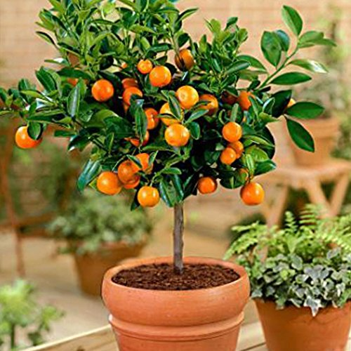 Tomasa Samenhaus- Bio- Orangen Baum Raritäten Orangen samen winterhart mehrjährig Obst Saatgut exotisch Fruchtpflanzen Saatgut Orangenbaum für Garten