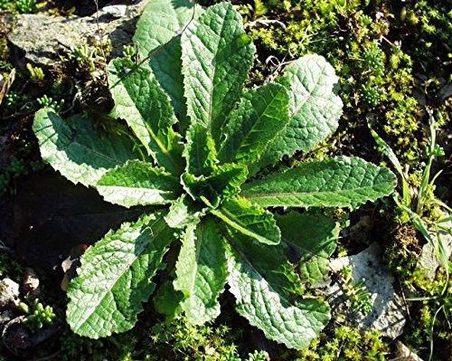 Asklepios-seeds® - 100 Samen Lactuca virosa, Gift-Lattich Wilder Lattich Stinklattich Stinksalat